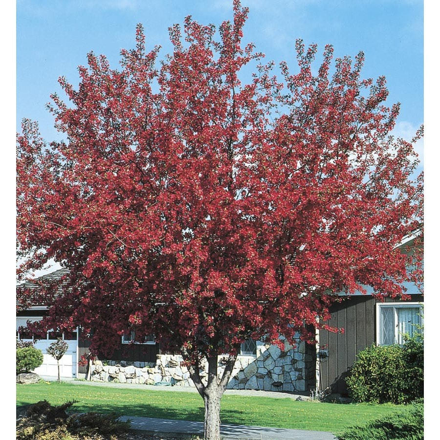 9.64-Gallon Prairifire Crabapple Flowering Tree (L1125)