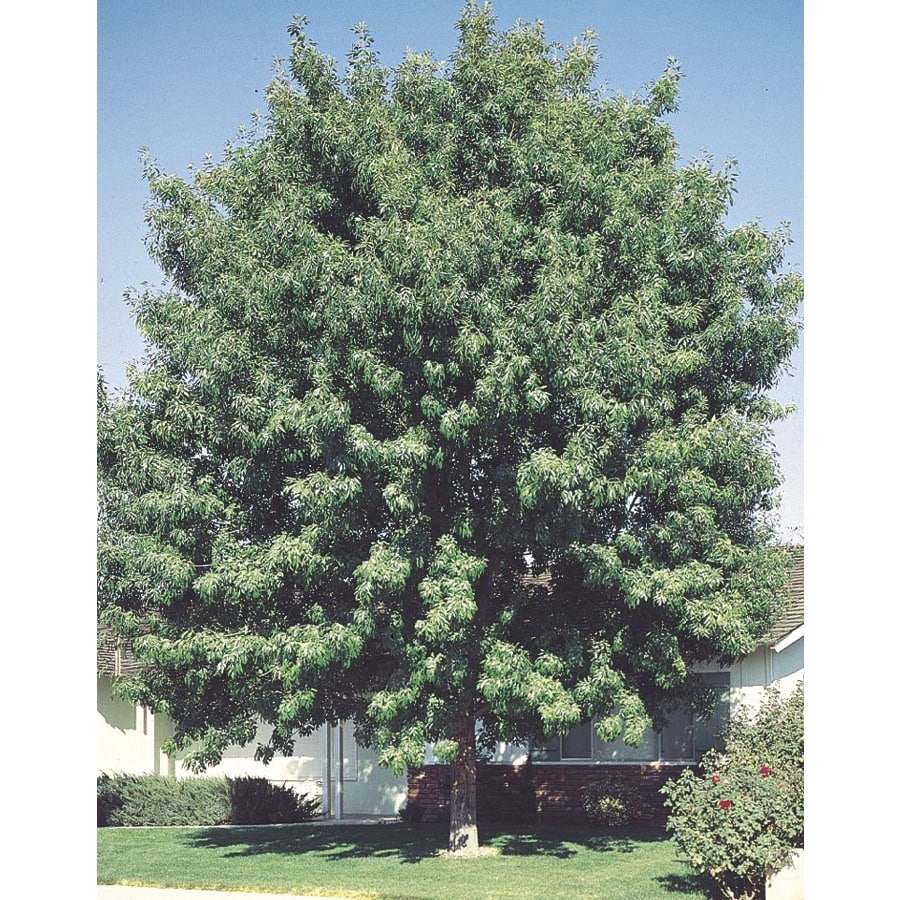 9.64-Gallon Fan-Tex Ash Shade Tree (L1051)