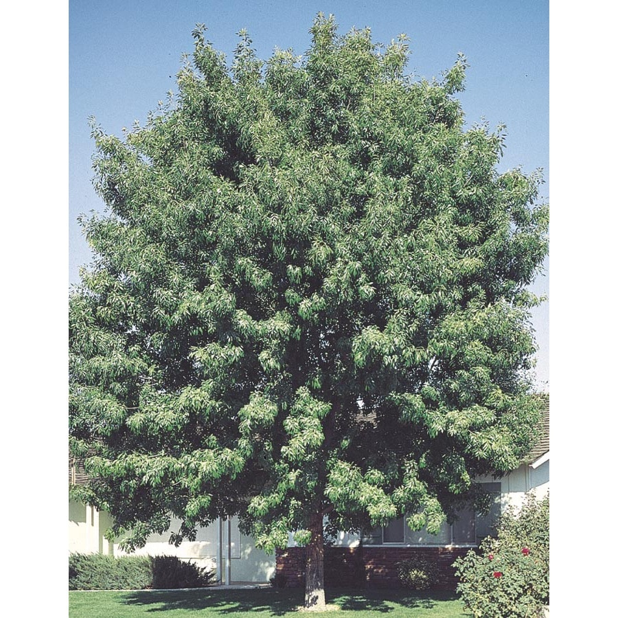 19.59-Gallon Fan-Tex Ash Shade Tree (L1051)