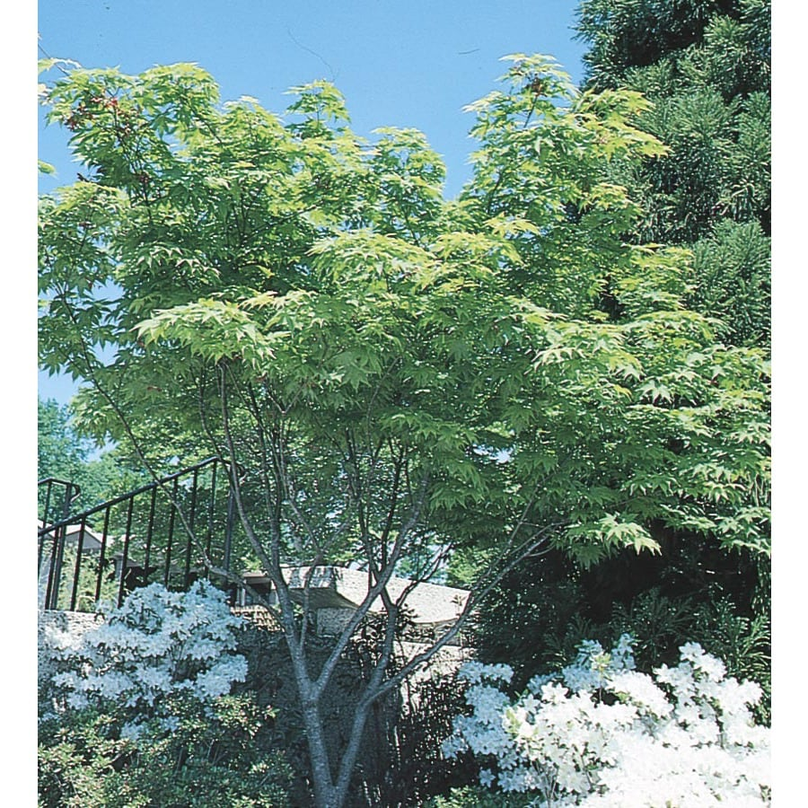 9.64-Gallon Japanese Maple Feature Tree (L4163)