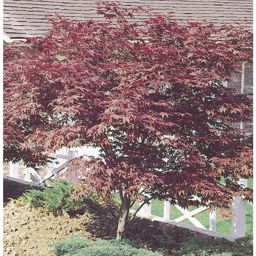13.35-Gallon Red Japanese Maple Feature Tree (L3165)
