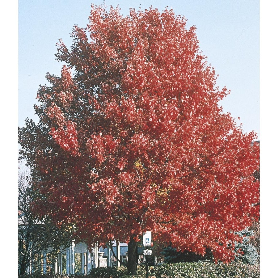 9.64-Gallon October Glory Maple Shade Tree (L3171)