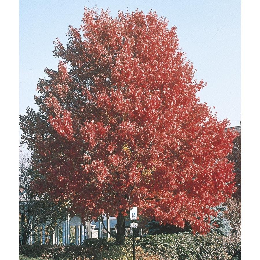 19.59-Gallon October Glory Maple Shade Tree (L3171)