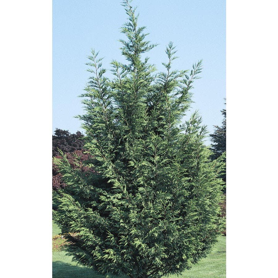 6.09-Gallon Leyland Cypress Screening Tree (L3153)