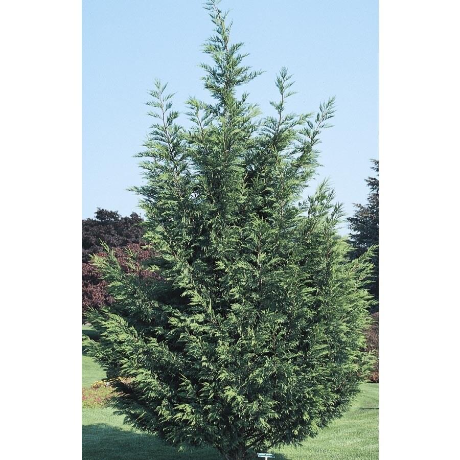 13.35-Gallon Leyland Cypress Screening Tree (L3153)