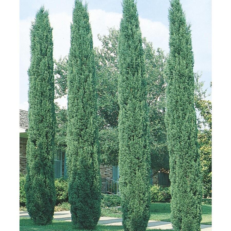 2.5-Gallon Italian Cypress Feature Tree (L3291)