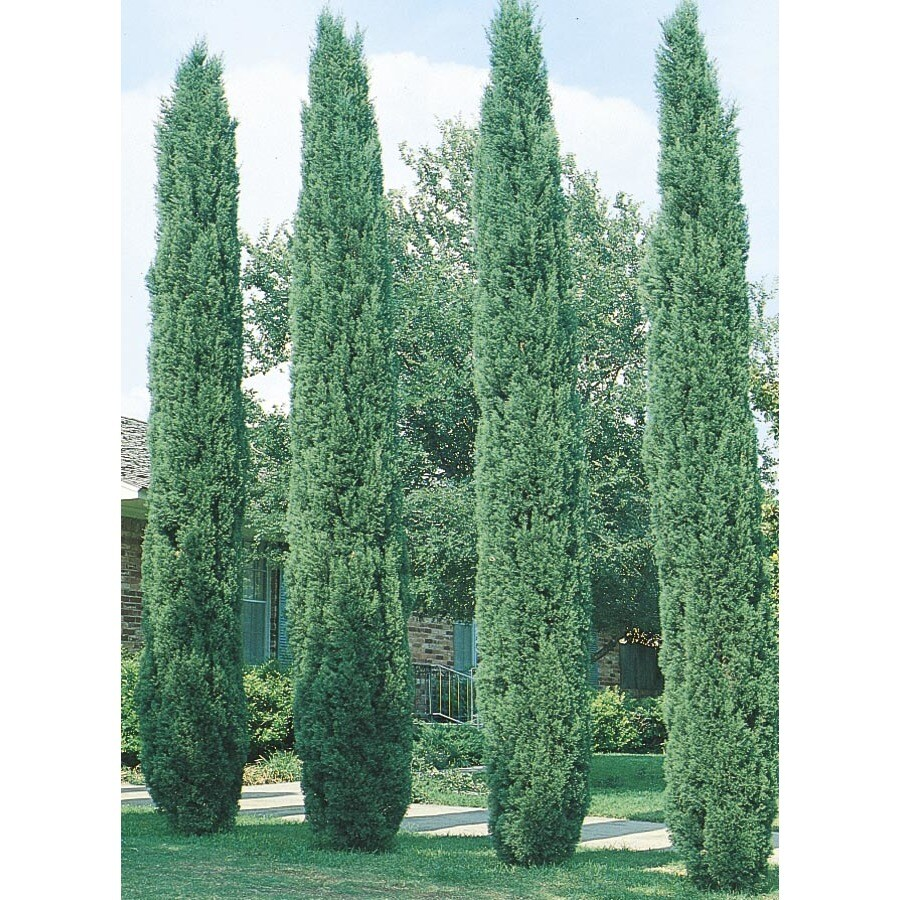 3.74-Gallon Italian Cypress Feature Tree (L3291)