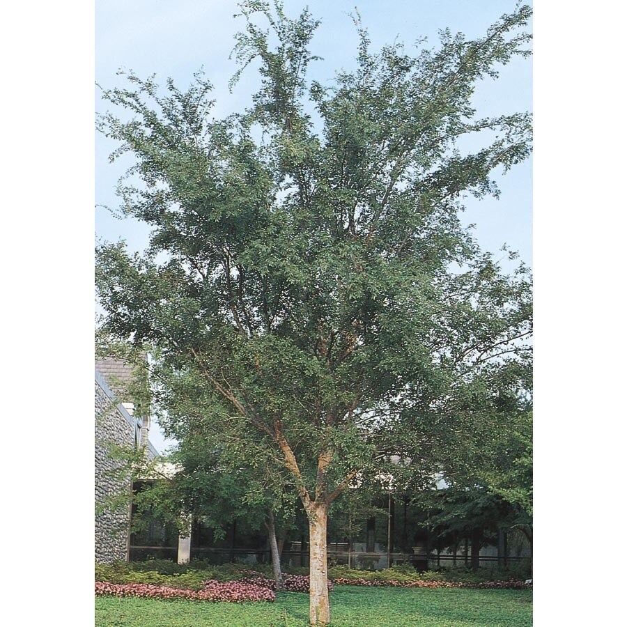 27.17-Gallon Drake Elm Shade Tree (L4612)