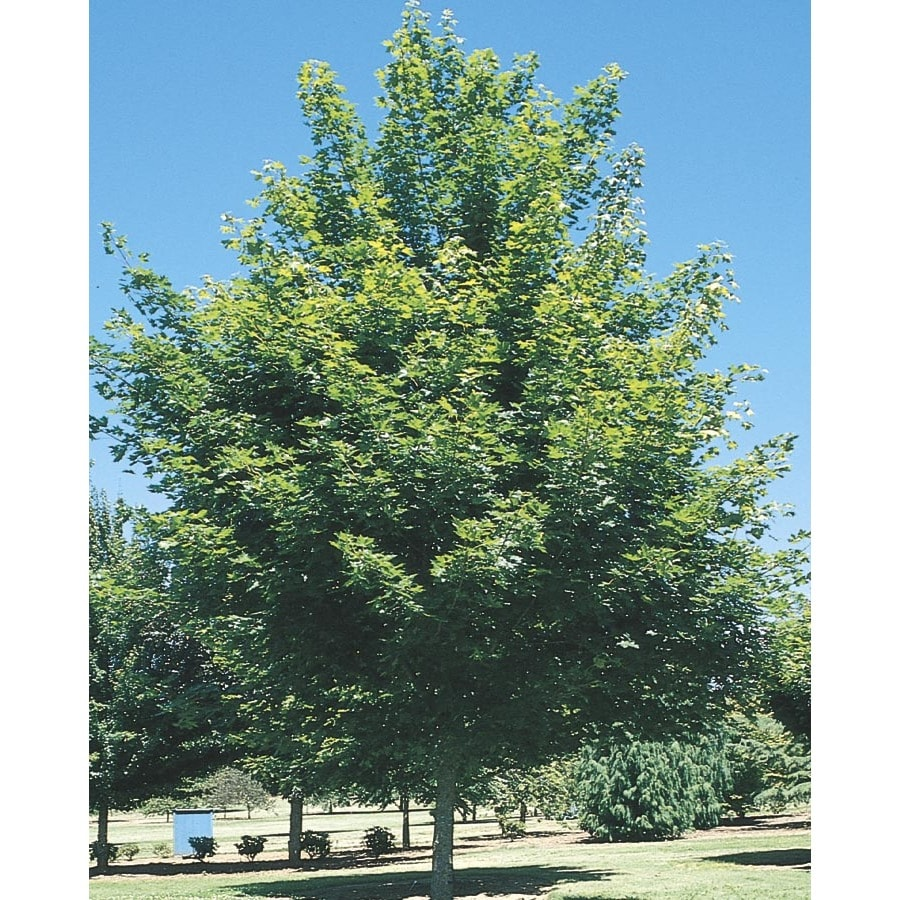 27.17-Gallon Red Maple Shade Tree (L1144)