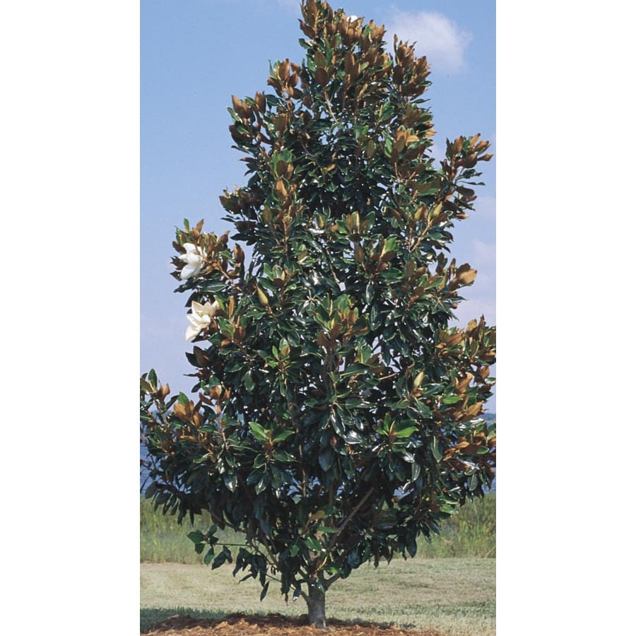Shop 9.64-Gallon Little Gem Magnolia Flowering Tree (L1157) at Lowes.com