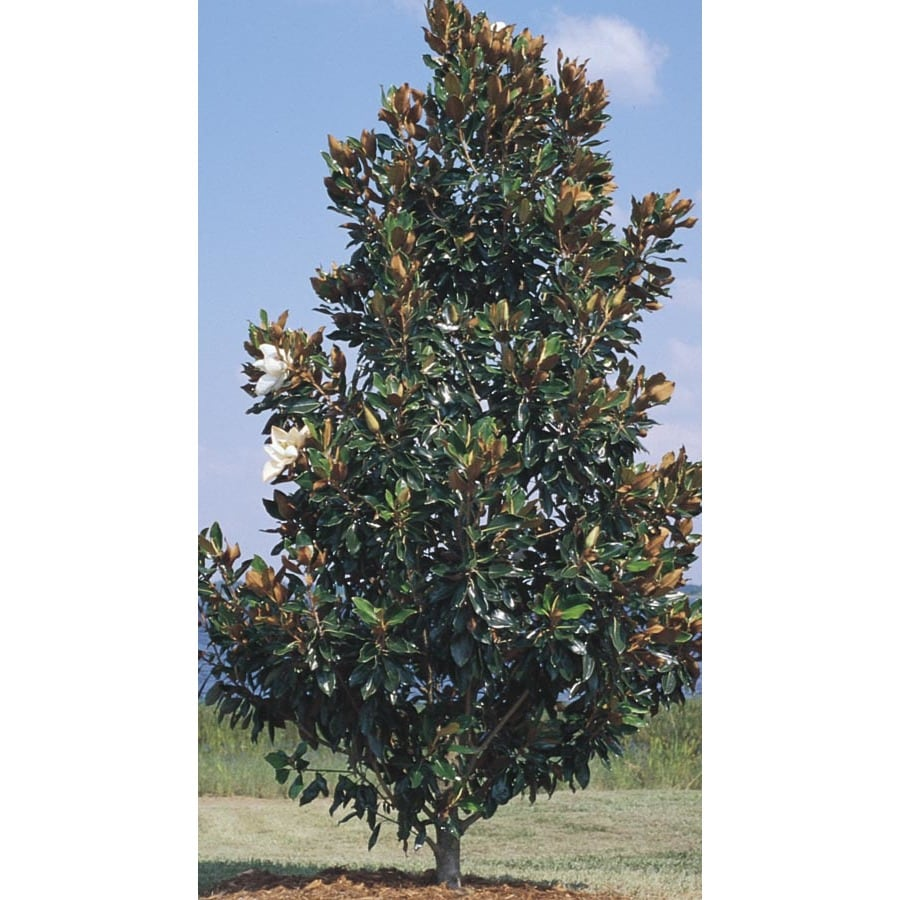 45.28-Gallon Little Gem Magnolia Flowering Tree (L1157)