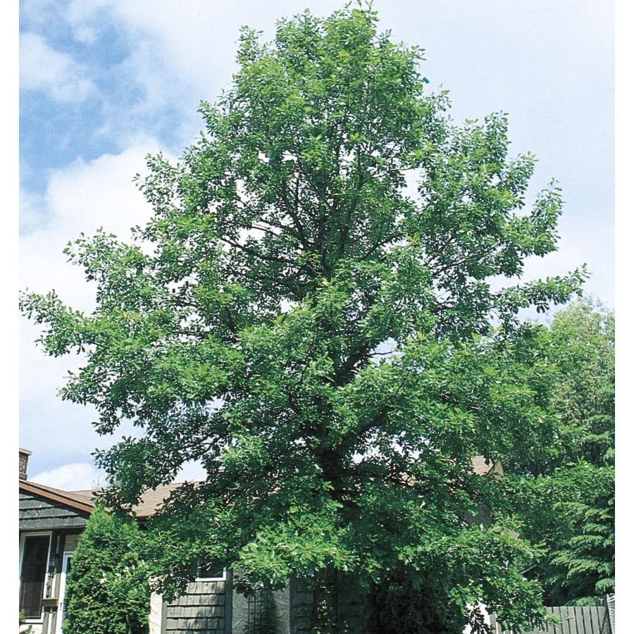19.59-Gallon Bur Oak Shade Tree (L1102)