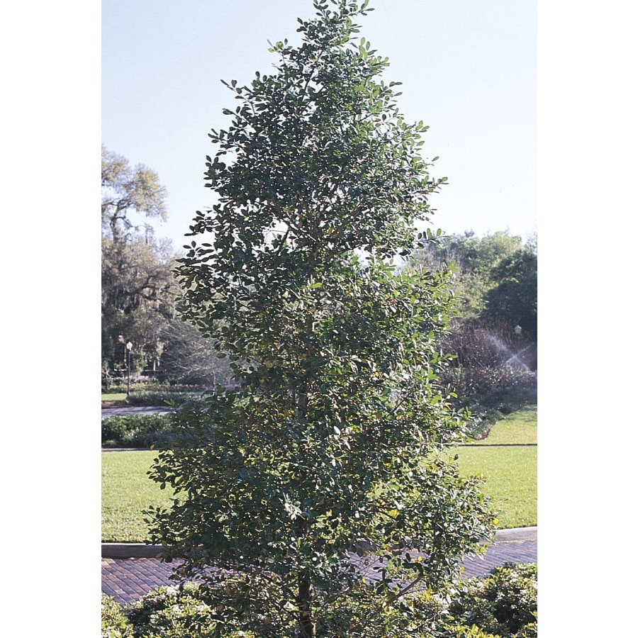 13-Gallon White Eagleson Holly Feature Shrub (L25720)