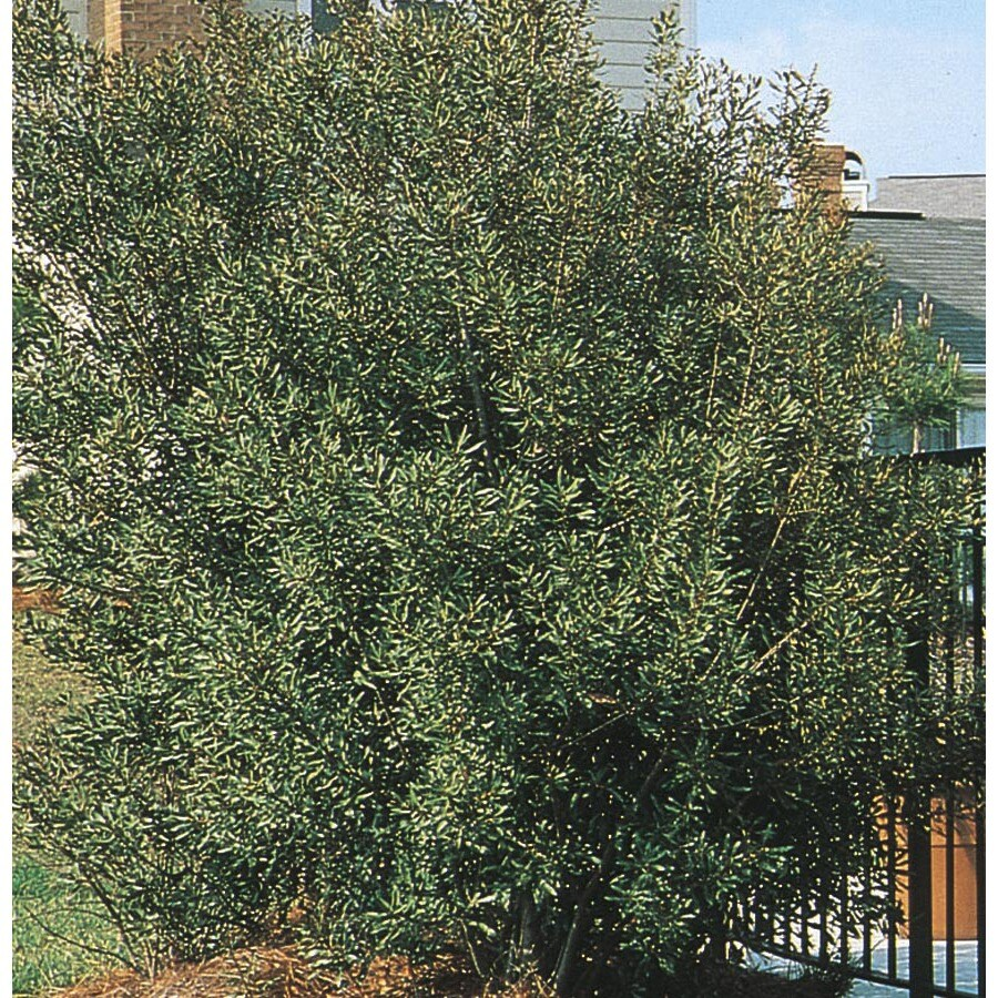 27-Gallon White Southern Wax Myrtle Screening Shrub (L1370)