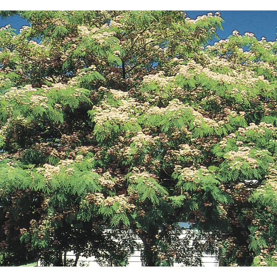 9.64-Gallon Mimosa Tree Flowering Tree (L1103)
