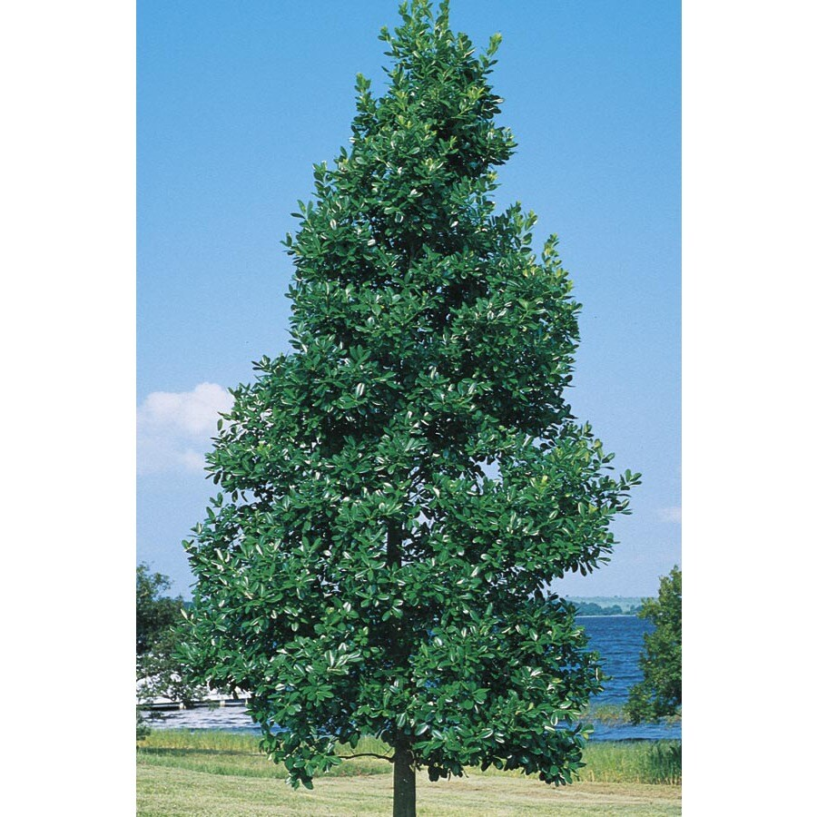 13-Gallon East Palatka Holly Feature Shrub (L8606)