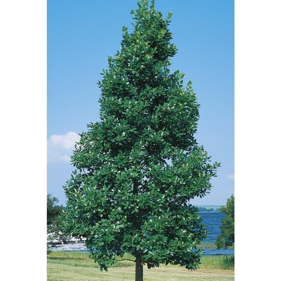27-Gallon East Palatka Holly Feature Shrub (L8606)