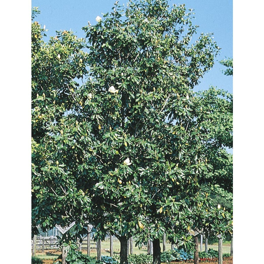 27.17-Gallon D. D. Blanchard Magnolia Flowering Tree (L1171)