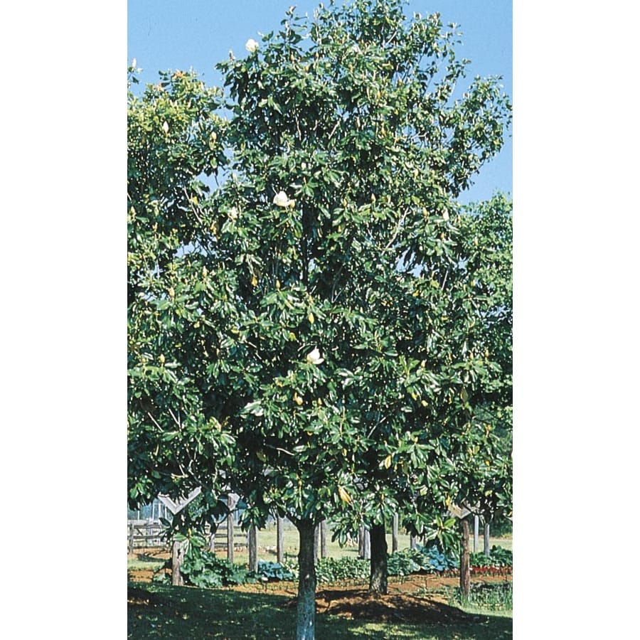 45.28-Gallon D. Blanchard Magnolia Flowering Tree (L1171)