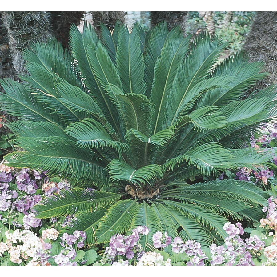 2.5-Gallon Sago Palm (LTL0026)