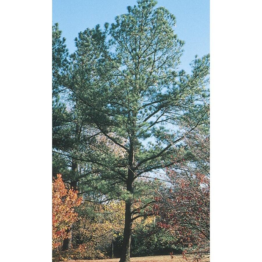 3.74-Gallon Loblolly Pine Feature Tree (L5852)