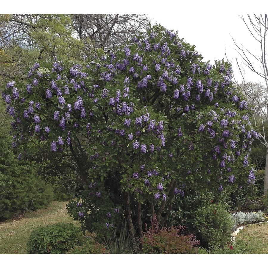 609gallon Lavender Texas Mountain Laurel Flowering Shrub (l3894)