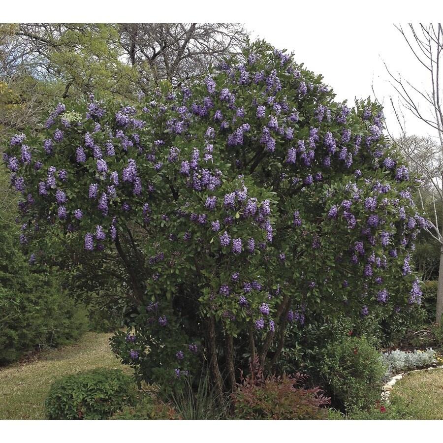 13.35-Gallon Lavender Texas Mountain Laurel Flowering Shrub (L3894)