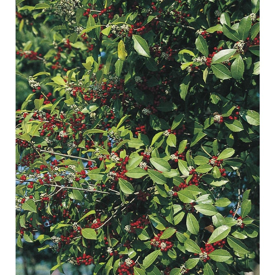 27-Gallon White Savannah Holly Feature Shrub (L2618)