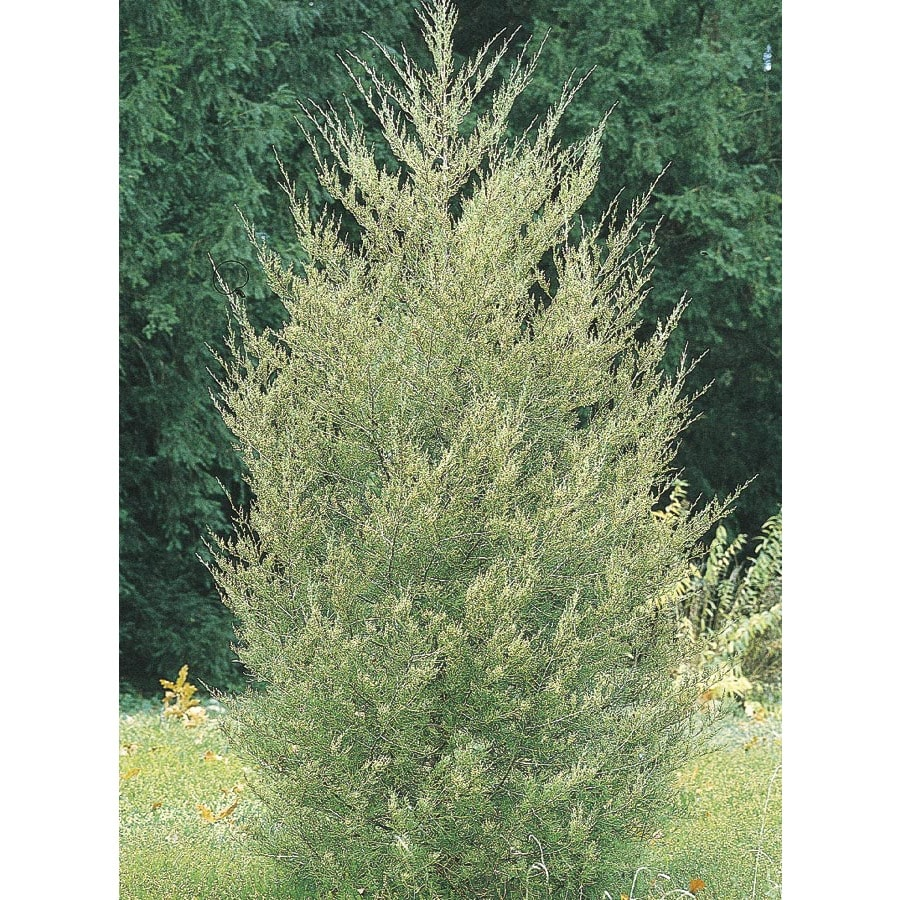 13-Gallon Red Cedar Screening Shrub (L10388)