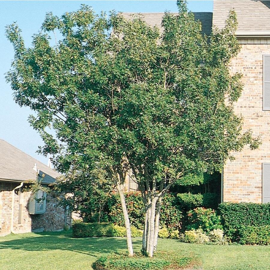 3.74-Gallon Shumard Clump Red Oak Shade Tree (L1136)