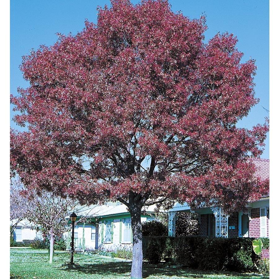 19.59-Gallon Shumard Oak Shade Tree (L1085)