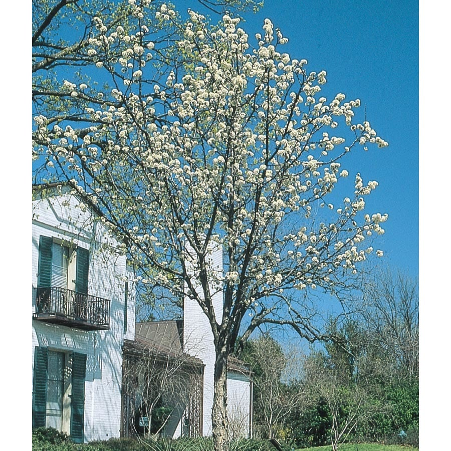 13.35-Gallon Mexican Plum Flowering Tree (L25703)