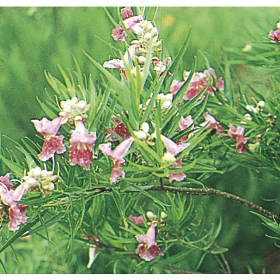 374 Gallon Pink Bubba Desert Willow Feature Tree In Pot With Soil