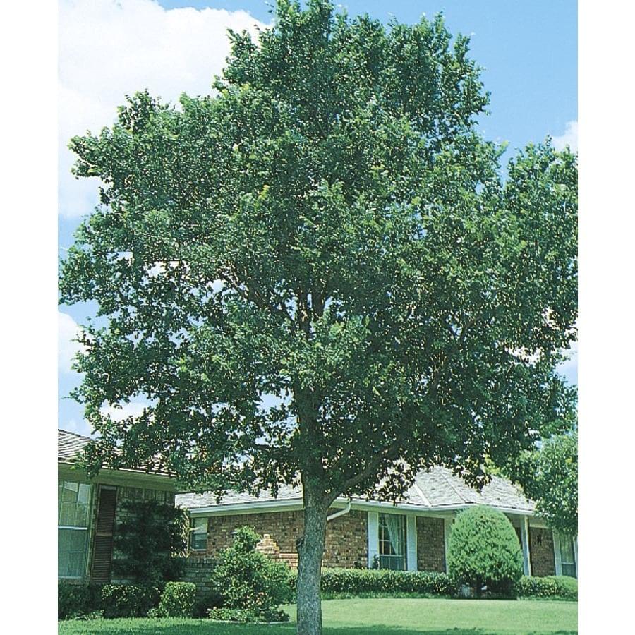 45.28-Gallon Cedar Elm Shade Tree (L1416)