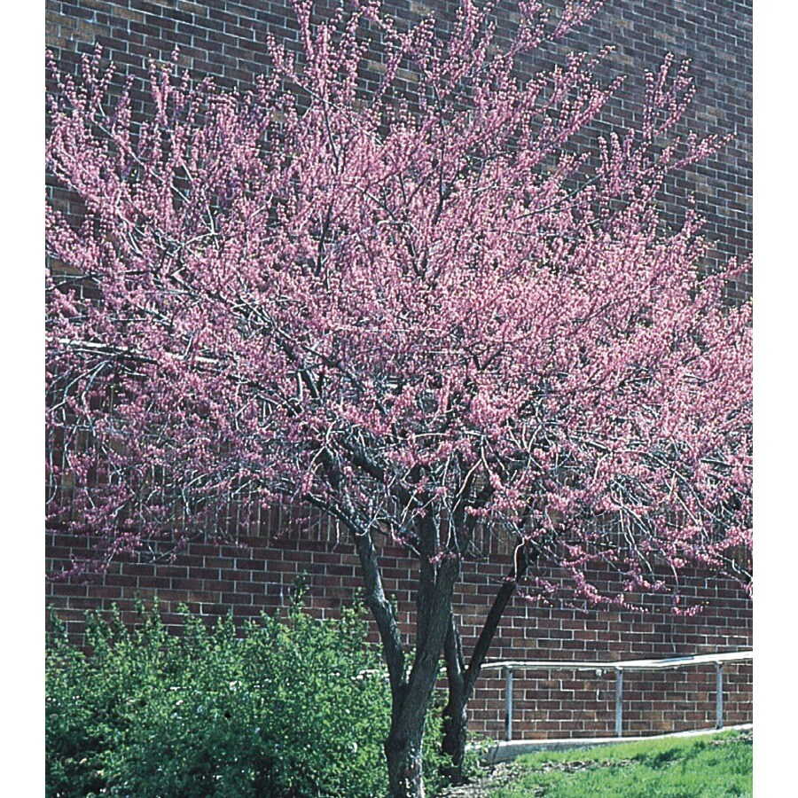 19.59-Gallon Redbud Flowering Tree (L11838)