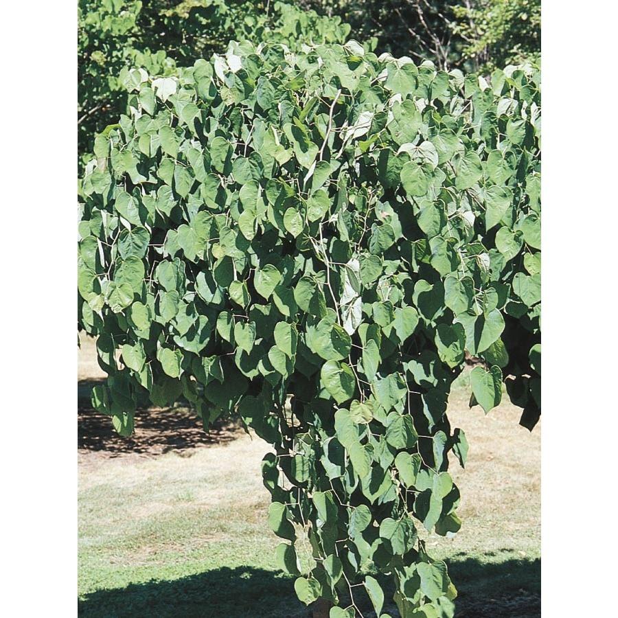 9.64-Gallon Lavender Twist Redbud Feature Tree (L14485)