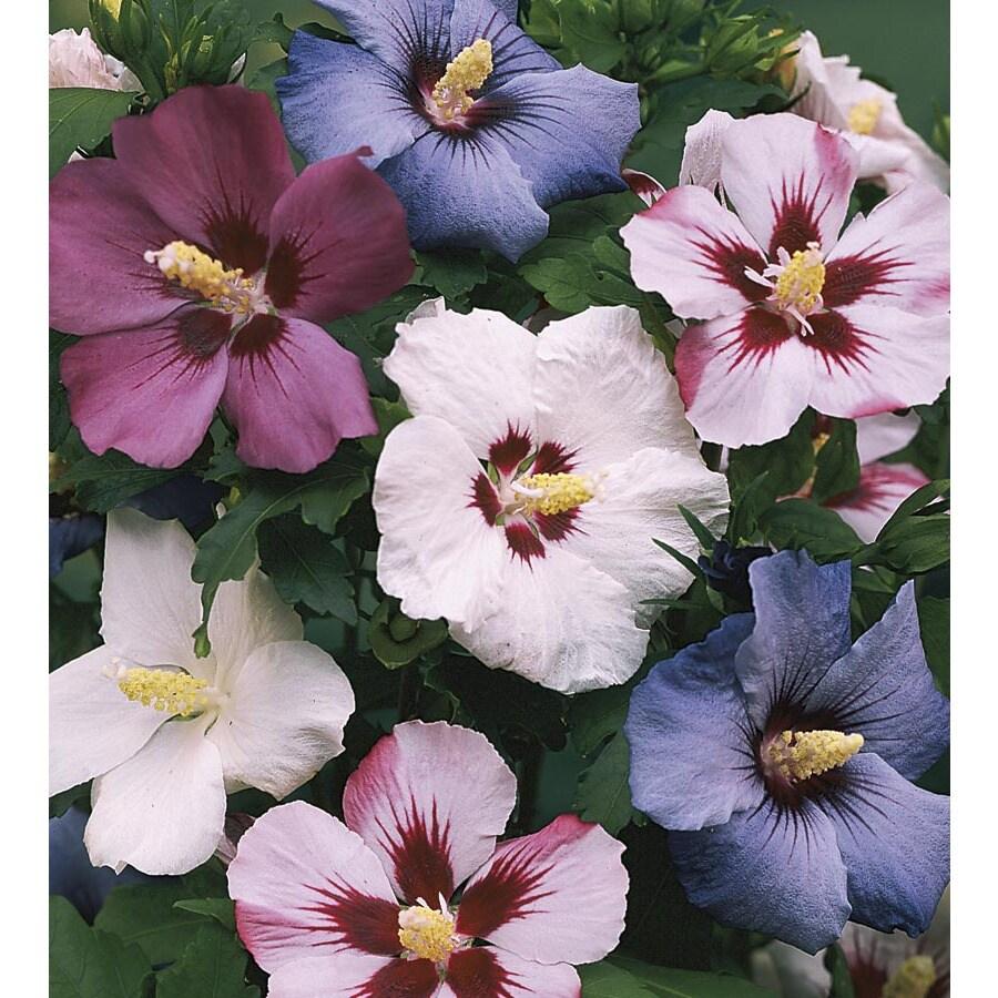 3.74-Gallon Mixed Rose of Sharon Flowering Shrub (L1203)