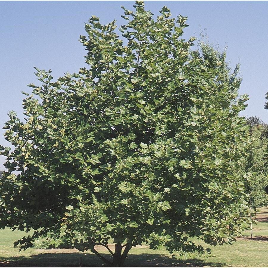 45.28-Gallon Mexican Sycamore Shade Tree (L24202)