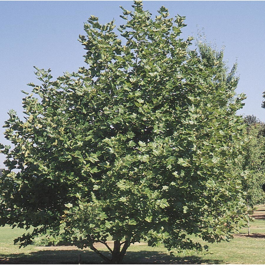 92.99-Gallon Mexican Sycamore Shade Tree (L24202)