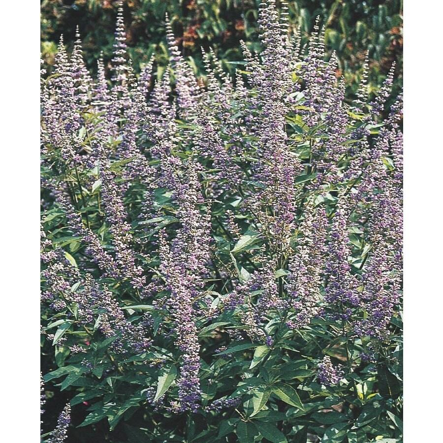 3.74-Gallon Shoal Creek Chaste Tree Flowering Tree (L11058)
