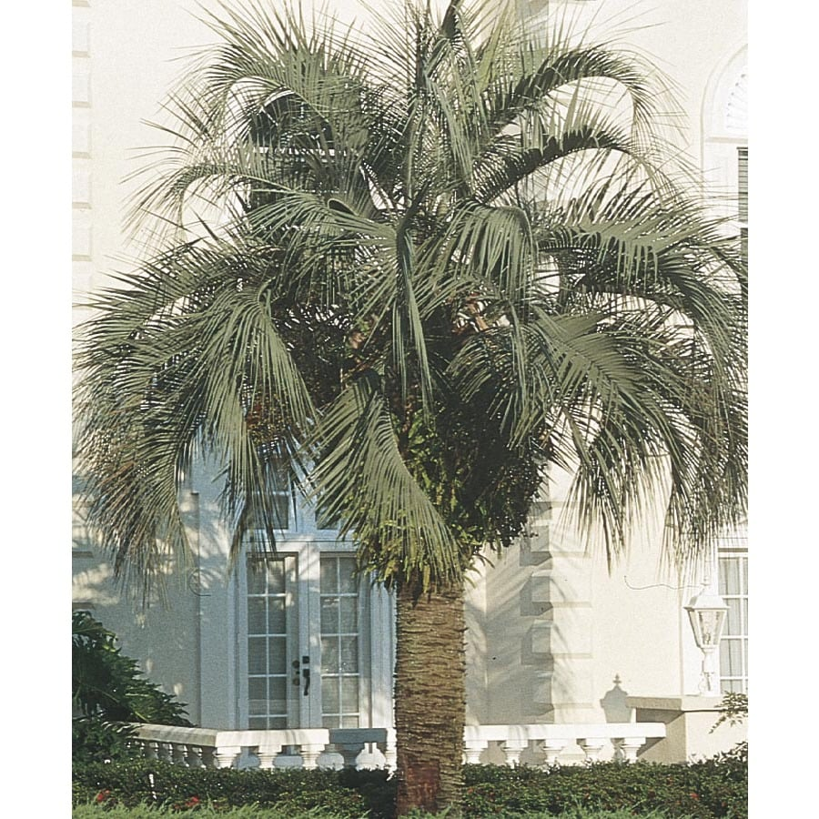 13-Gallon Pindo Palm (L6017)
