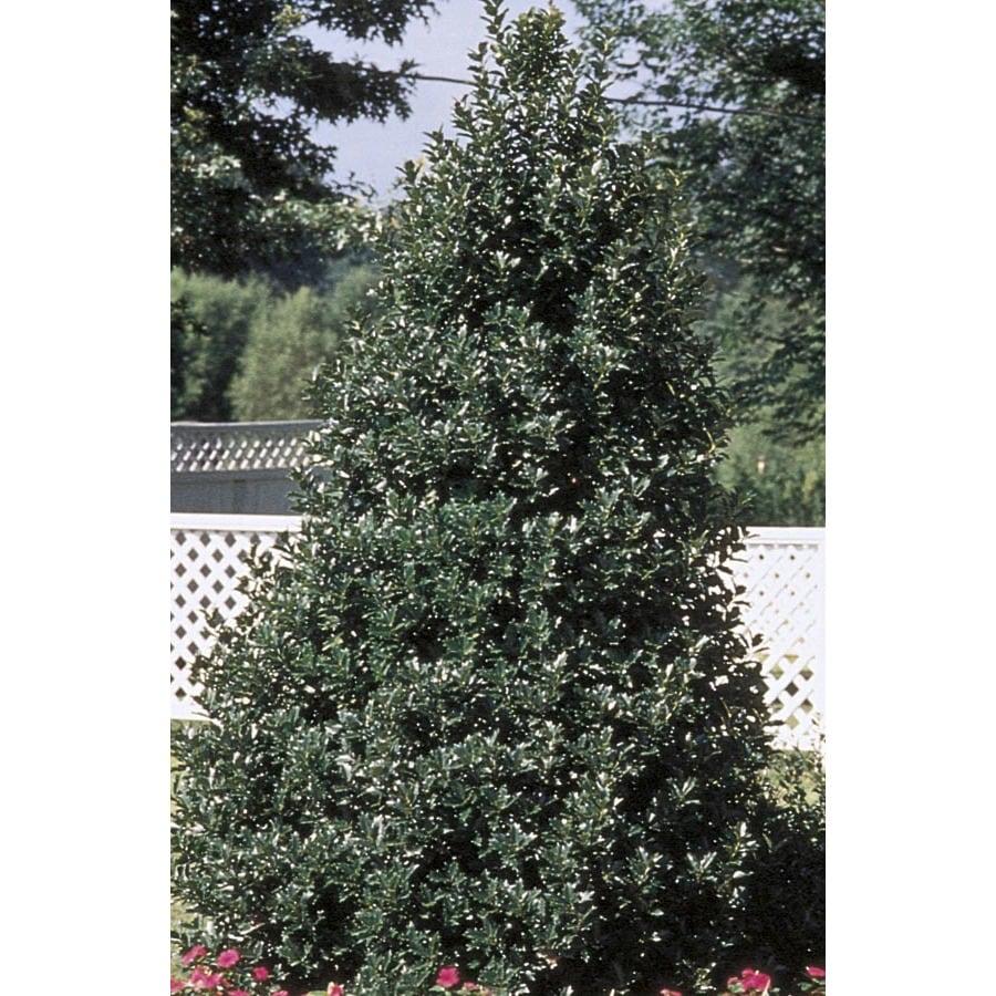 27-Gallon White Oakleaf Holly Feature Shrub (L9746)