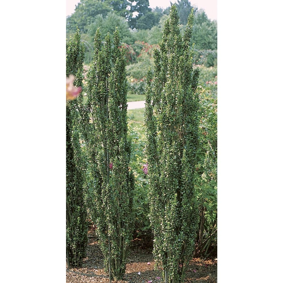 13-Gallon White Sky Pencil Japanese Holly Feature Shrub (L11293)