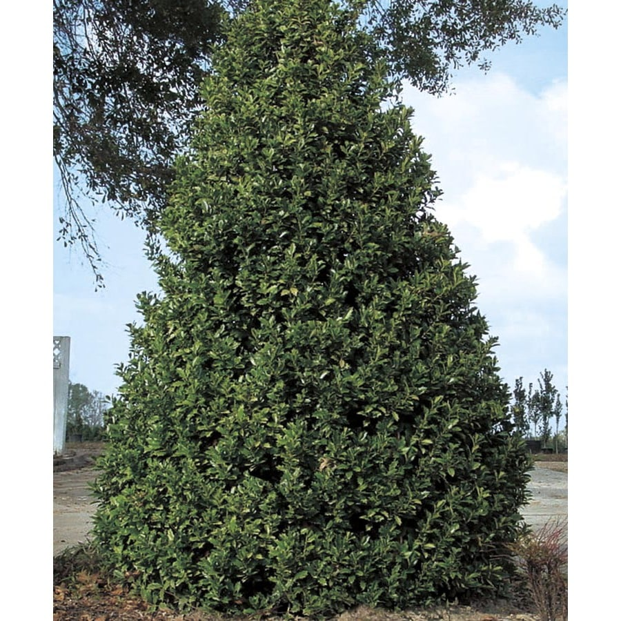 13-Gallon White Oakland Holly Feature Shrub (L14536)