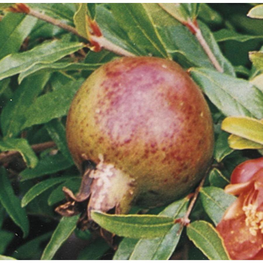 3.74-Gallon Pomegranate Tree (L7402)