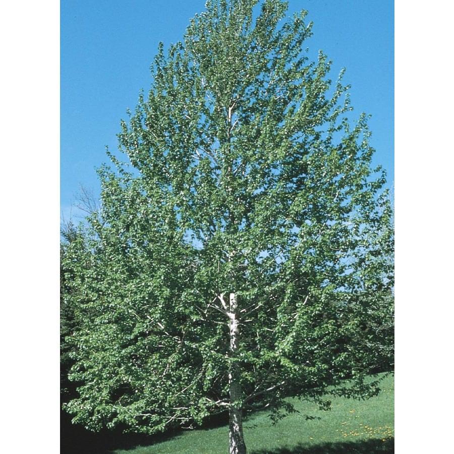 9.64-Gallon Lanceleaf Cottonwood Shade Tree (L11767)