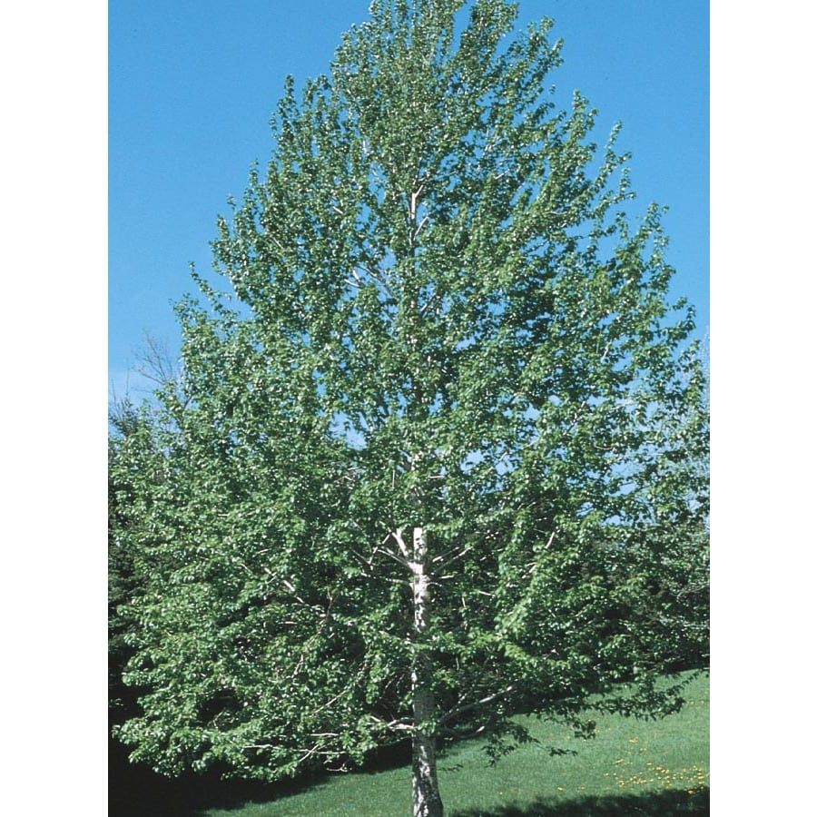 19.59-Gallon Lanceleaf Cottonwood Shade Tree (L11767)