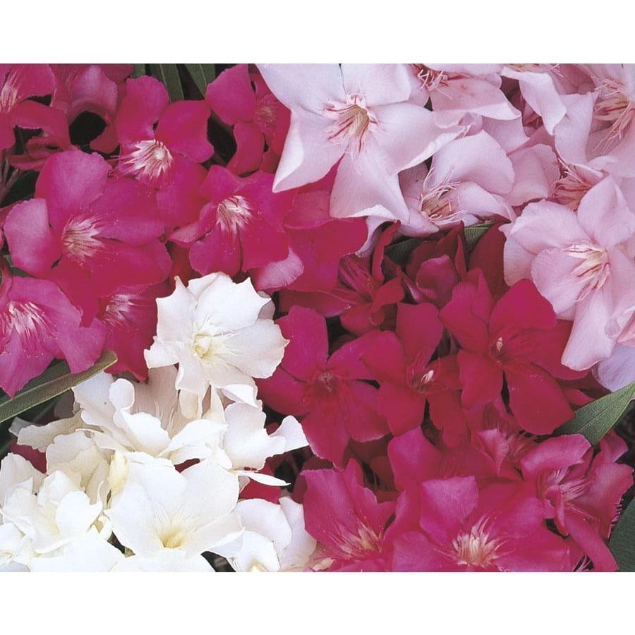 9-Gallon Multicolor Oleander Flowering Shrub (L0056)
