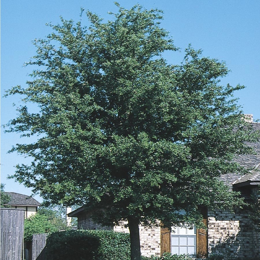 45.28-Gallon Cathedral Live Oak Shade Tree (L24770)