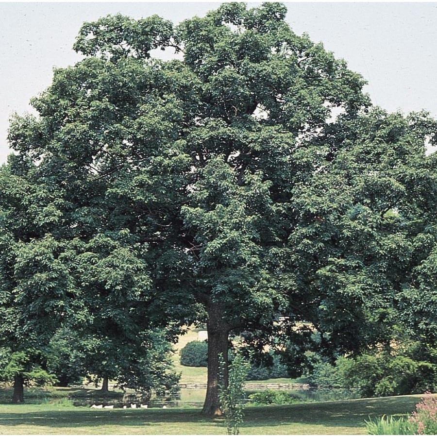 3.74-Gallon Chinquapin Oak Shade Tree (L5853)